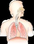 Atemtherapie, Lungenregeneration